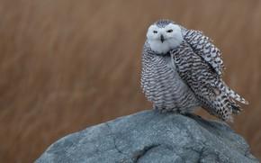 Picture field, animals, nature, background, owl, bird, stone, feathers, white, sitting, polar, motley, ruffled