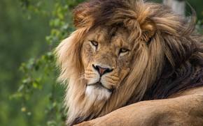 Picture greens, cat, look, face, nature, background, portrait, Leo, mane, lies, wild cats