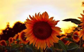 Picture Sunset, Summer, Sunflowers, Sunset, Summer, Sunflowers