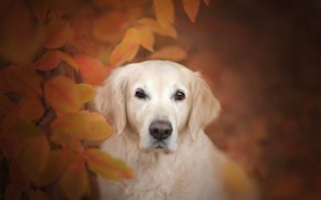 Picture autumn, look, face, leaves, dog, bokeh, Golden Retriever, Golden Retriever