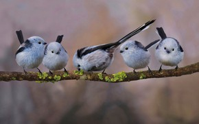 Picture bird, pack, branch, tail, long-tailed tit
