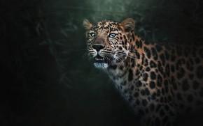 Wallpaper face, twilight, background, fangs, predator, bokeh, leopard