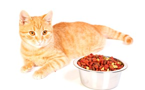 Picture cat, food, red, white background, lies, bowl, food, on the floor