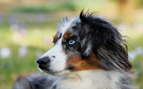 Picture dog, Puppy, blue eyes