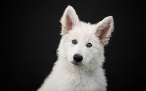 Picture look, face, portrait, dog, puppy, ears, black background, The white Swiss shepherd dog