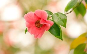 Picture macro, branch, bokeh, Camellia