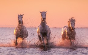 Picture water, squirt, horse, white horse