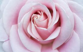 Picture macro, pink, rose, petals