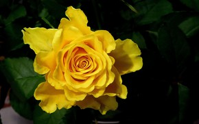 Picture flower, yellow, Rose, Bud