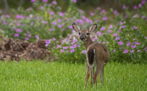 Picture grass, flowers, nature, deer, wool, large, color