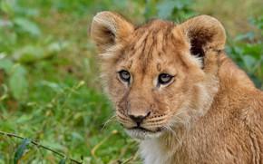 Picture look, face, cats, nature, green, background, portrait, Leo, wild cats, lion, lion
