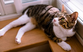 Picture cat, cat, look, light, stay, window, lies, sill, striped, mordaha, adorable, grey with white