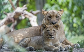 Picture predators, lioness, mom, lion
