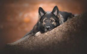 Picture look, face, dog, bokeh, German shepherd