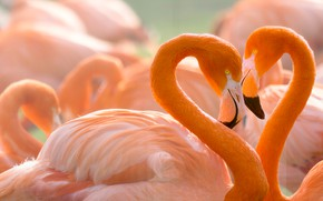 Picture love, birds, background, heart, portrait, pair, lovers, Flamingo, wildlife, bright plumage, pink flamingos, neck, child ...