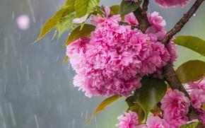 Wallpaper rain, Sakura, flowering in the spring