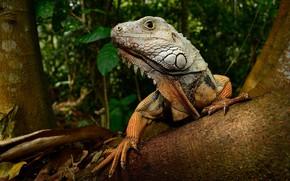 Wallpaper iguana, lizard, tree