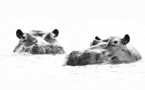 Picture nature, background, hippos