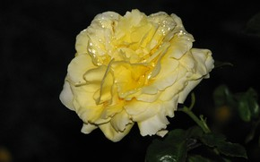 Picture night, Rosa, Rose, yellow