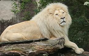 Picture white, Leo, mane, African, albino