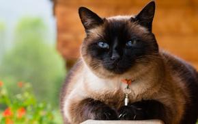 Wallpaper cat, collar, Siamese, face, background, nature, blue eyes, Siamese, portrait, cat
