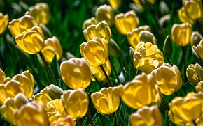 Picture yellow, bright, tulips