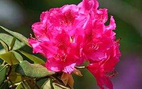Picture Summer, Summer, Bokeh, Bokeh, June, June, Pink flowers, Pink flowers