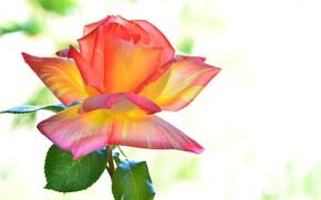 Picture background, rose, color, petals