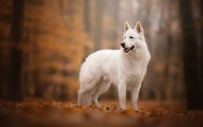 Picture autumn, dog, bokeh, The white Swiss shepherd dog