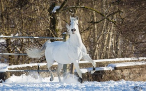 Picture white, pose, horse, horse, power, grace, posing, (с) Oliver Seitz