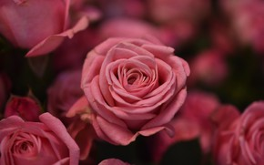 Picture flowers, roses, bouquet, buds, rose petals