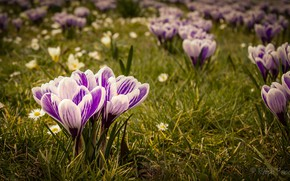 Picture flowers, color, crocuses, flowering