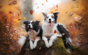 Wallpaper The border collie, stump, a couple, leaves, mood, two dogs, joy, autumn