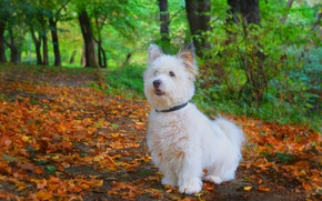 Picture Autumn, Dog, Park, Fall, Foliage, Park, Autumn, Falling leaves, Leaves, The West highland white Terrier