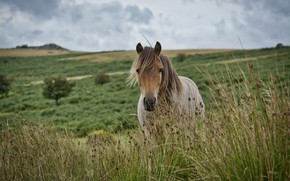 Picture grass, meadow, Dartmoor pony