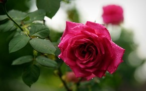 Picture drops, rose, spring, Bud, flowering