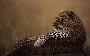 Picture look, pose, animal, predator, leopard, wild cat