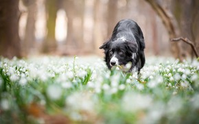 Picture forest, look, face, flowers, Park, background, glade, black and white, dog, blur, spring, snowdrops, bokeh, …