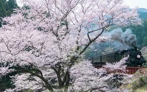 Picture spring, Sakura, dervla, photographer Comyu Matsuoka