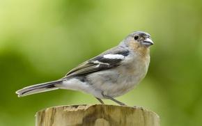 Picture birds, Chaffinch, fringilla coelebs