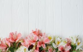 Picture Flowers, White background, Alstroemeria
