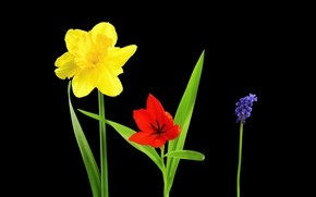 Picture background, Tulip, petals, Narcissus, Viper onion
