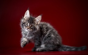 Picture background, Kitty, Baby, Maine Coon