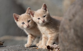 Picture kittens, a couple, twins, two kittens, red kittens