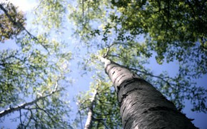 Picture forest, the sky, macro, trees, bark, birch