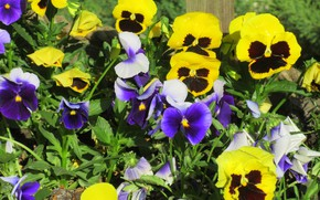 Picture flowers, Pansy, spring 2018, Meduzanol ©