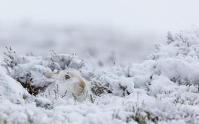Wallpaper winter, nature, snow, rabbit