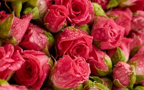 Wallpaper flowers, background, roses, pink, fresh, pink, flowers, background, roses, natural