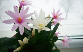 Picture flowering, March, Schlumbergera, Rodstvennik