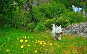 Picture grass, Nature, Dog, Flowers, grass, Dog, nature, Flowers, Trees, The West highland white Terrier